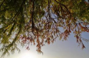 hangende naaldboomtakken in de herfst