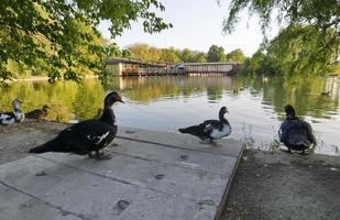 Barbarijse eenden op de oever van het meer in park