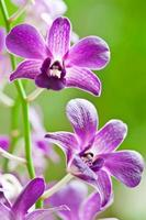 paarse orchidee foto