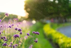 verbena paarse bloemen