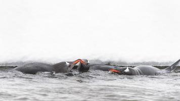 pinguïns spelen op de ijsrots