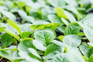 tabaksteelt jonge planten aanplant foto