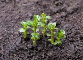 jonge muntplanten foto