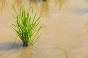 rijstplant foto
