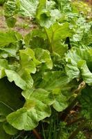 rabarber plant foto