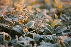 bevroren planten foto