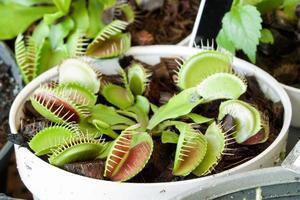 vleesetende droseaceae plant foto