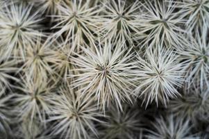 zeer pijnboomachtige cactusplant foto