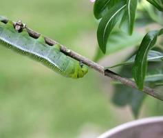 groene worm blijft aan plant. foto