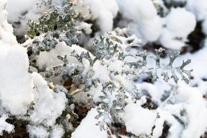eerste sneeuw op jacobaea maritima plant foto