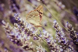 prachtige vlinder zittend op lavendelplanten