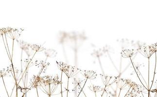 oude droge bruine planten op wit foto