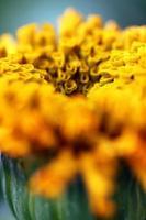 taishan oranje goudsbloem foto