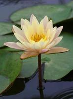 wit gele lotus