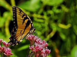 neergestreken gele vlinder foto