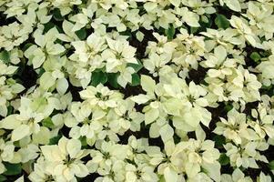 witte poinsettia planten