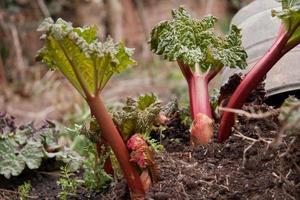 nieuwe groei van rabarberplant foto