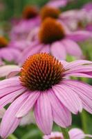 echinacea plant op de voorgrond foto