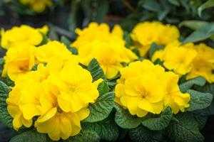 geelbloeiende primulaplanten foto