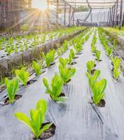 zonsopgang boven een veld van jonge verse groene maïsplanten foto