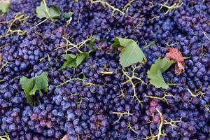 druiven voor rode wijn foto