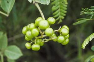 verginia klimplantboom