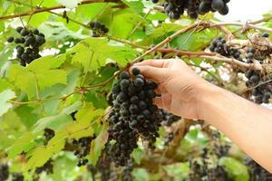 hand druiven plukken aan de wijnstok foto