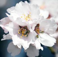 bloeiende amandelboom foto