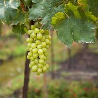 foto van rijpe witte druiventak met druivenbladeren achtergrond