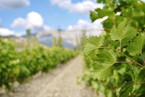 rijen wijnstokken