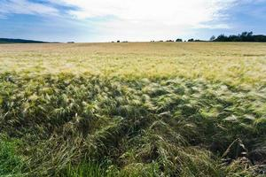 gerst veld in zomerdag