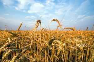 gouden gebied van tarwe tegen blauwe hemel foto