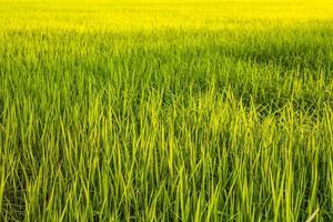 rijstveld foto