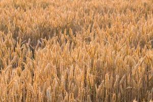 achtergrond van rijpende oren van geel tarweveld