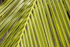 kokosbladeren in de tuin foto
