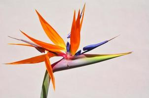 paradijsvogel bloem