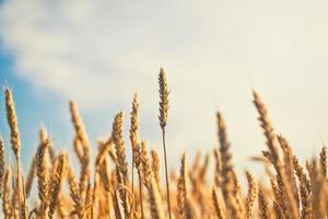 tarwe veld. foto