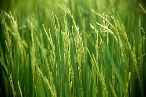 rijstboerderij foto
