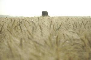 cosecha de trigo