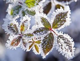 bevroren planten