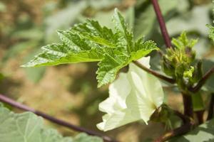 okra plant met bloem