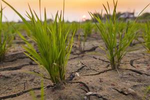 rijstplant bij zonsondergang