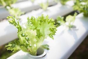 frillice ijsberg planten op hydrofonische boerderij