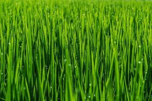 plant in rijstveld met dauw druppel. foto