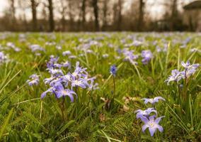 paars bloeiende scilla planten groeien tussen gras