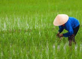 vietnam, rijst planten in lege velden padie.