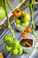 tomaten aan de boom klaar om te worden verkocht en gegeten. foto