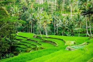 rijstveldterrassen in Bali, Indonesië