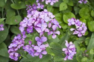 de bloemen van de bloeiende lunaria rediviva