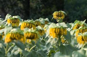 verwelkte zonnebloemen foto
